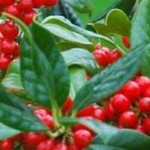 Selbstbefruchtende Ilex-Sorte mit rot-glänzenden Beeren gesucht