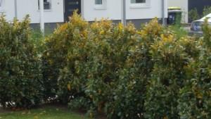 Kirschlorbeer / Prunus bekommt gelbe Blätter – Was kann man tun?