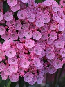 Kalmia latifolia 'Pink Charm' / Lorbeerrose 'Pink Charm' / Berglorbeer 'Pink Charm'