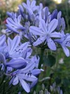 Tipps für einen schöne Schmucklilie und die richtige Pflege?
