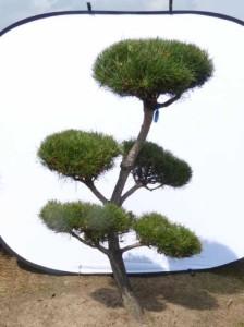 Gartenbonsai Pinus Sylvestris