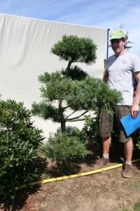 Rückschnitt vom Kiefern-Bonsai / Pinus Parviflora