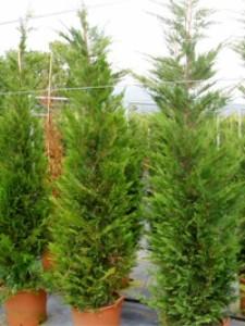 Schnellwachsende Heckenpflanze Leyland-Zypresse