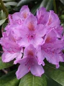 Rhododendron Hybride 'INKARHO Catawbiense Grandiflorum' / Rhododendron 'INKARHO Catawbiense Grandiflorum'