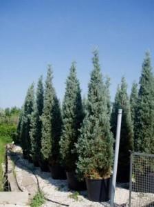 Nadelgehölz mit bläulicher Färbung gesucht – ist die Cupressus arizonica 'Glauca' geeignet?
