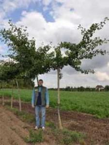 Ist ein Ginkgo biloba 'Pendula' / Hängender Ginkgobaum als Kübelpflanze für eine Dachterrasse geeignet?