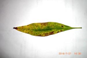 Chitalpa  / Schmalblättriger Trompetenbaum bekommt gelbe, fleckige Blätter – Ursachen und Gegenmaßnahmen