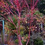 Acer palmatum 'Sango-kaku' / Korallenrinden-Ahorn
