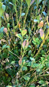 Buchsbaum bekommt nach Pflanzung kahle Stellen – Ursachen und Gegenmaßnahmen
