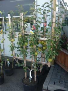 Welche Apfelsorten sind gute Befruchter für den Apfelbaum Malus d. 'Ahrista'?