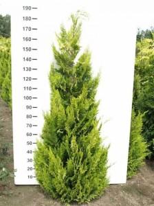 Chamaecyparis lawsoniana 'Ivonne' / gelbe Scheinzypresse