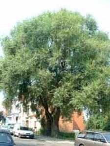 Salix alba / Silber-Weide / Weiß-Weide