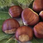 Wann kann man einen Esskastanien-Baum am besten pflanzen?