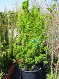 Muss man den Acer palmatum 'Shishigashira' / Löwenkopf-Ahorn umtopfen und wenn ja wie häufig?