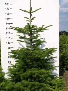 So bleibt der Weihnachtsbaum lange frisch- die besten Tipps & Tricks
