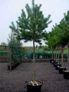 Immergrüne Sträucher und Bäume für Pflanzbeete gesucht – hier gibt es Tipps