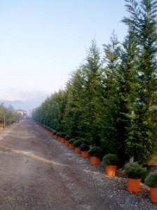 Eignet sich die Leyland-Zypresse gut als hoher Sichtschutz (8m) und wie breit wird sie?