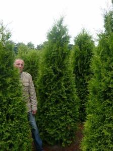 Thuja occidentalis 'Brabant' / Lebensbaum 'Brabant'