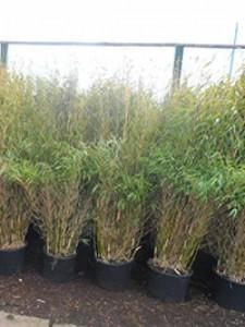 Welche Bambus-Sorte ist als Kübelpflanze gut geeignet?