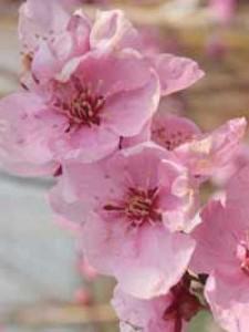Prunus persica 'Spring Glow'  – auch als Obstbaum geeignet oder nur Zierpfirsich?