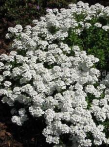 Iberis sempervirens 'Appen Etz' / Immergrüne Garten-Schleifenblume