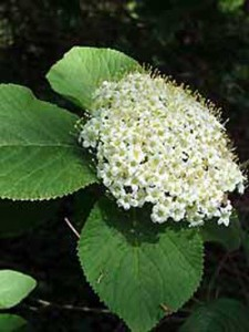 Viburnum lantana / Wolliger Schneeball