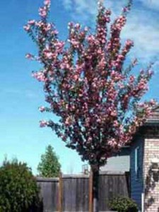 Welche Stammlänge und Wurzelform hat eine Prunus cistena / Zwerg-Blut-Pflaume als Hochstamm?