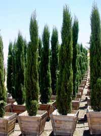Cupressus sempervirens / Mittelmeerzypresse