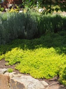 Thymus x citriodorus 'Golden Dwarf' / Garten-Zitronen-Thymian