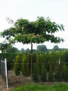 Ist die Albizia julibrissin 'Ombrella' / Seidenbaum 'Ombrella' für windigen Standort geeignet?