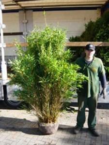 Wann ist der optimale Pflanzzeitpunkt für Bambus Fargesia Jumbo – Herbst oder Frühjahr?