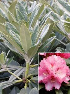 Rhododendron für  sonnigen Standort gesucht – Empfehlungen?