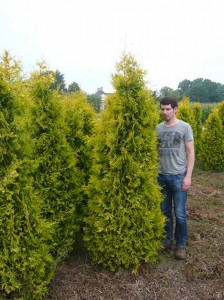 Thuja occidentalis 'Yellow Ribbon' / Lebensbaum 'Yellow Ribbon' - von Natur aus in Kegelform