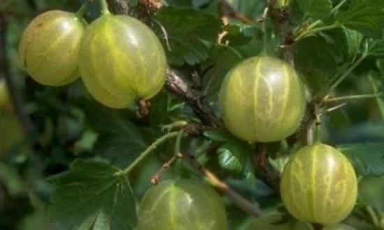 Ribes uva-crispa 'Invicta' / Stachelbeere 'Invicta'