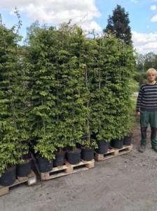 Carpinus betulus / Hainbuche - Jahreszuwachs bis zu 40cm