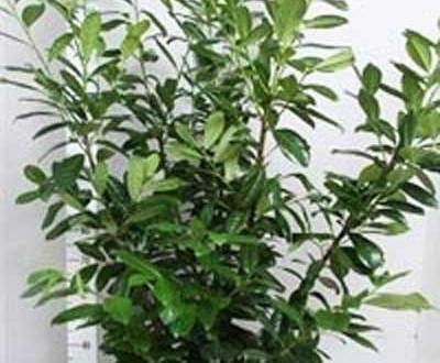 Kirschlorbeer / Prunus