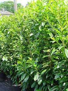 Prunus laurocerasus 'Caucasica' / Kirschlorbeer 'Caucasica' - Jahreszuwachs bis zu 40cm