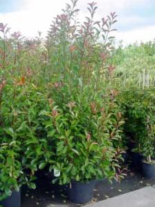 Photinia fraseri 'Red Robin' / Glanzmispel - Jahreszuwachs bis zu 30cm