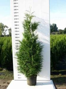 Thuja plicata 'Martin' / Lebensbaum 'Martin' - Jahreszuwachs bis zu 30cm