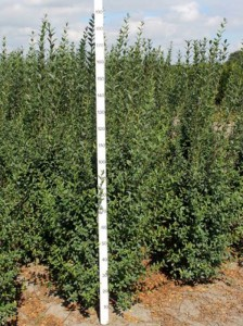 Ligustrum vulgare 'Atrovirens' / wintergrüner Liguster - Jahreszuwachs bis zu 40cm