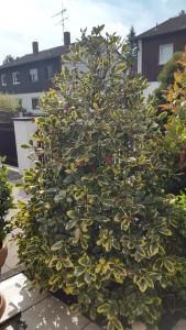 Ilex Golden King verliert nach 5 Jahren einige Blätter – was kann die Ursache sein?