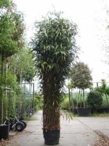 Pseudosasa japonica / Pfeilbambus - wird bis zu 5m hoch