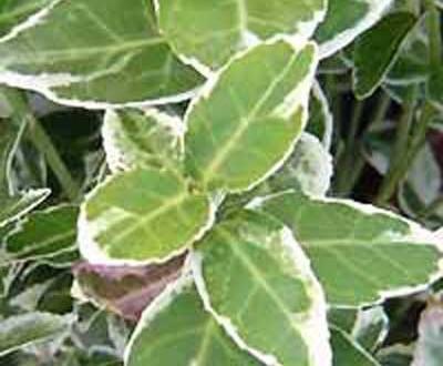 Euonymus fortunei 'Emerald Gaiety' / Weißbunte Kriechspindel