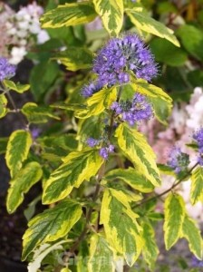 Caryopteris clandonensis 'Summer Sorbet ®' / Bartblume 'Summer Sorbet'