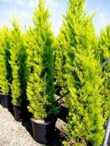 Cupressus macrocarpa 'Goldcrest' / Monterey-Zypresse