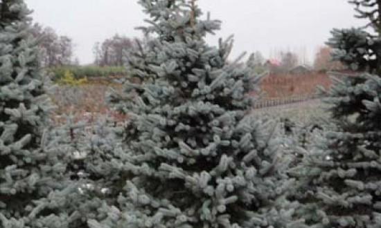 Picea pungens 'Hoopsii' / Blau-Fichte 'Hoopsii' / Silber-Fichte 250-300 mDB