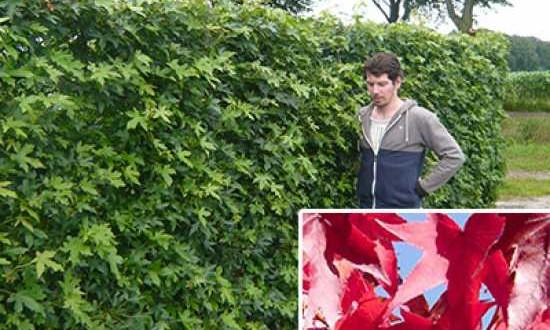 Liquidambar styraciflua / Amerikanischer Amberbaum / Fertighecke / Heckenelement 200 cm