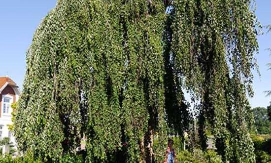 Cercidiphyllum japonicum 'Pendulum' / Judasblatt 'Pendulum' / Kuchenbaum 'Pendulum'