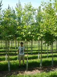 Juglans regia 'Broadview' / Gemeine Walnuss 'Broadview' / Edelnuss 'Broadview' - bleibt eher klein