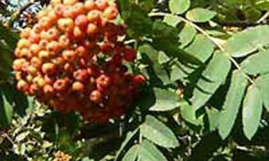 Sorbus thuringiaca 'Fastigiata' / Thüringische Mehlbeere - die Beeren werden gerne von Vögeln gegessen